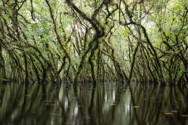 圓滑番荔枝是鬼蘭的重要宿主。它們能在長時間的洪水氾濫中存活,而且它們茂密的樹冠有助於創造出適合鬼蘭的理想微氣候。PHOTOGRAPH BY MAC STONE