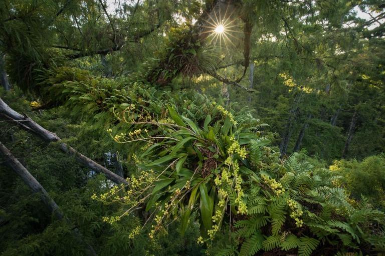 鬼蘭不是唯一生活在沼澤與沼澤森林的附生植物。落羽松原始林鬱鬱蔥蔥的樹冠提供了理想的棲地與微氣候給其他多種稀有的附生植物,例如這種多穗蘭(<i>Polystachya concreta</i>)。PHOTOGRAPH BY MAC STONE