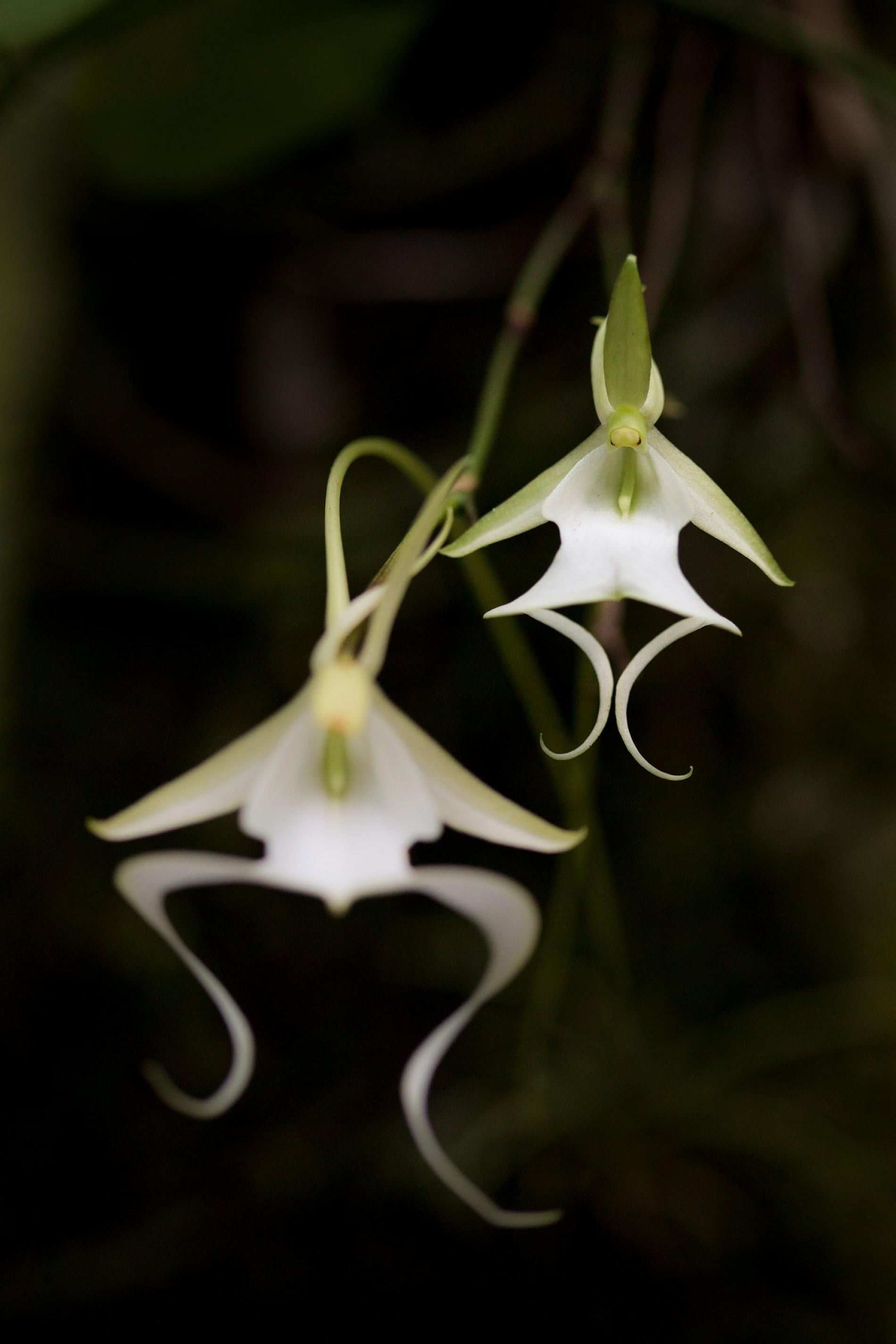 稀有的鬼蘭主要生長在南佛羅里達的三個保護區,它迷人的花朵已讓世界各地的人陶醉。PHOTOGRAPH BY MAC STONE