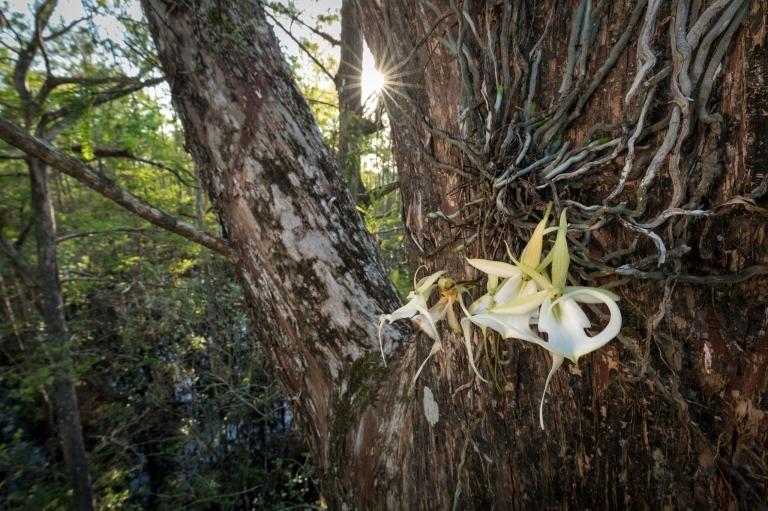 「超級鬼蘭」是南佛羅里達野外已知最大的鬼蘭,它會同時綻放許多花朵,有時夏季的多數時間都在開花。PHOTOGRAPH BY MAC STONE