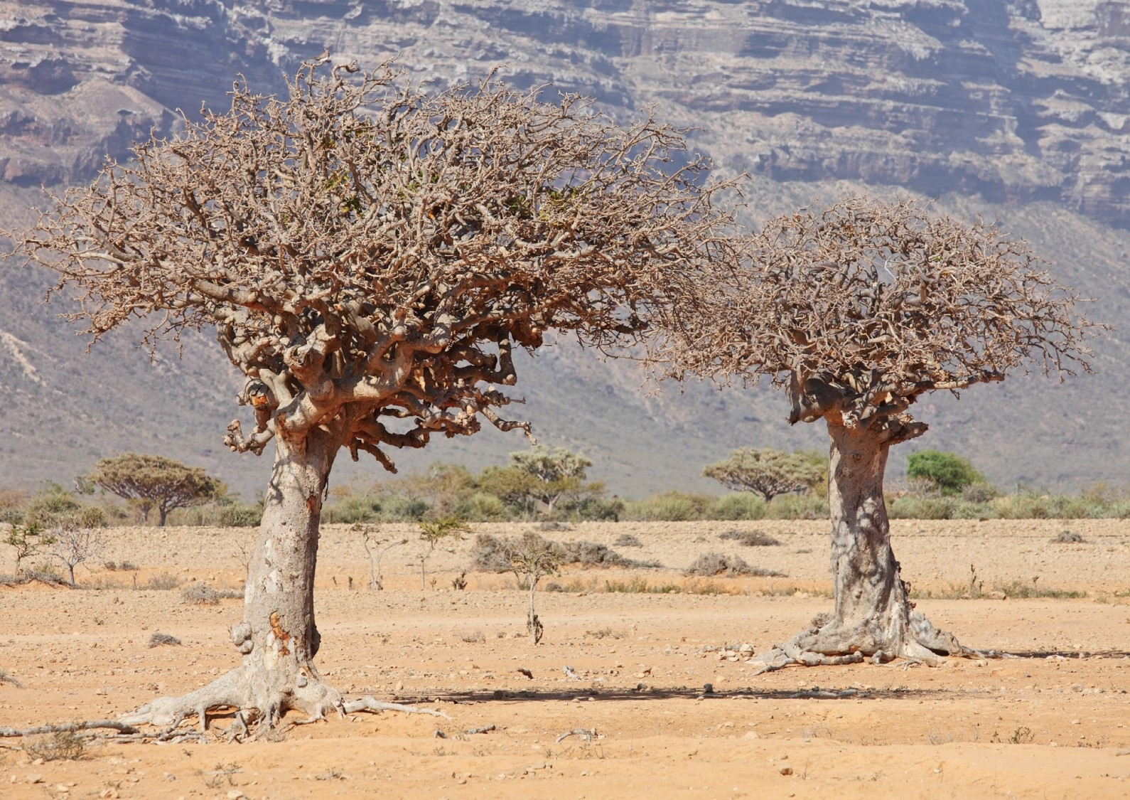 珍稀乳香 流傳上千年的沙漠瑰寶 (Sponsored)