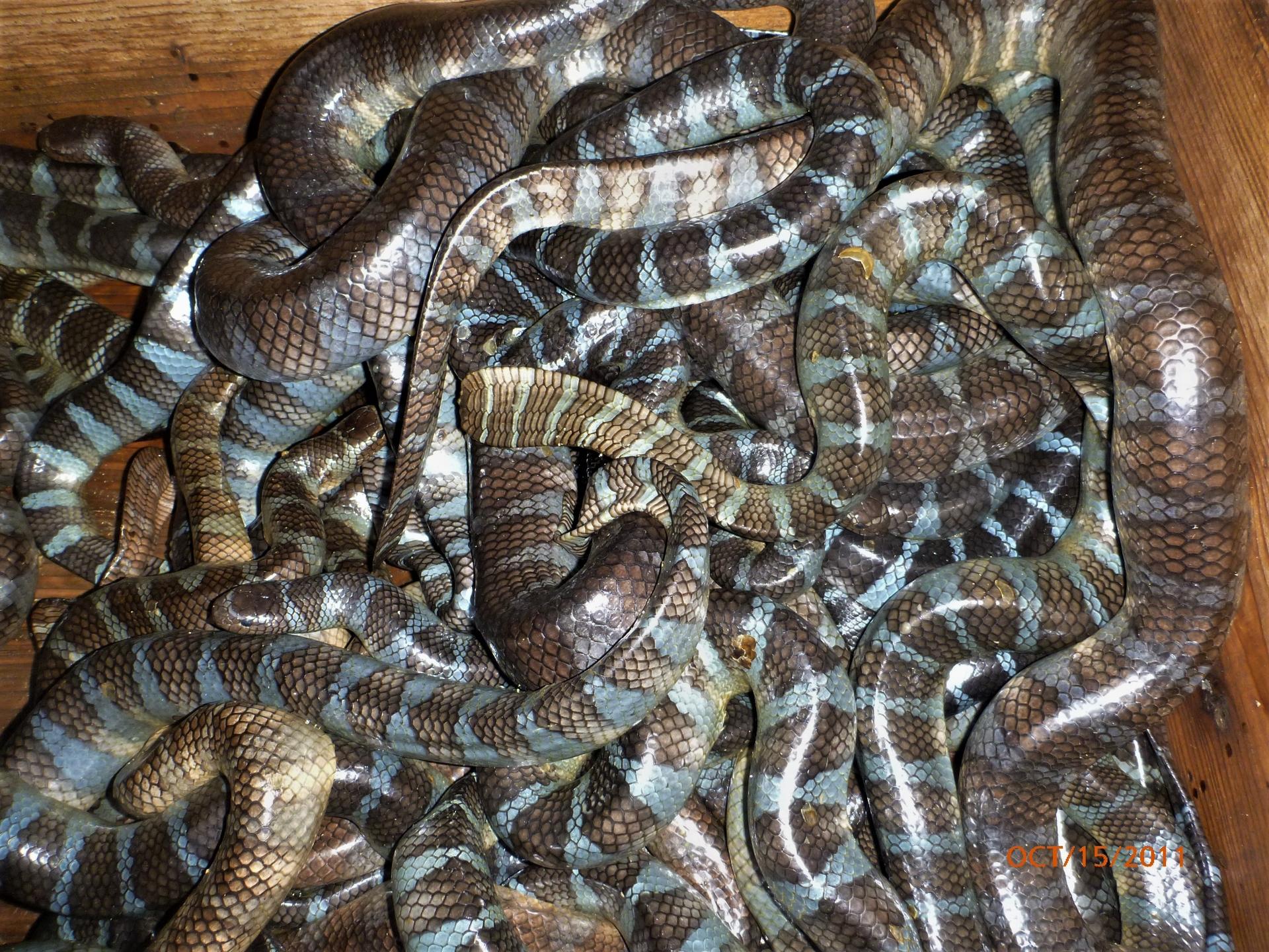 由久高島居民捕獲的海蛇。攝影:杜銘章