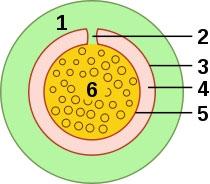 肌腱鞘橫截面 1.腱纖維鞘  2.腱系膜  3.腱滑膜鞘壁層  4.滑液腔  5. 腱滑膜鞘臟層  6.肌腱。圖片來源:維基百科