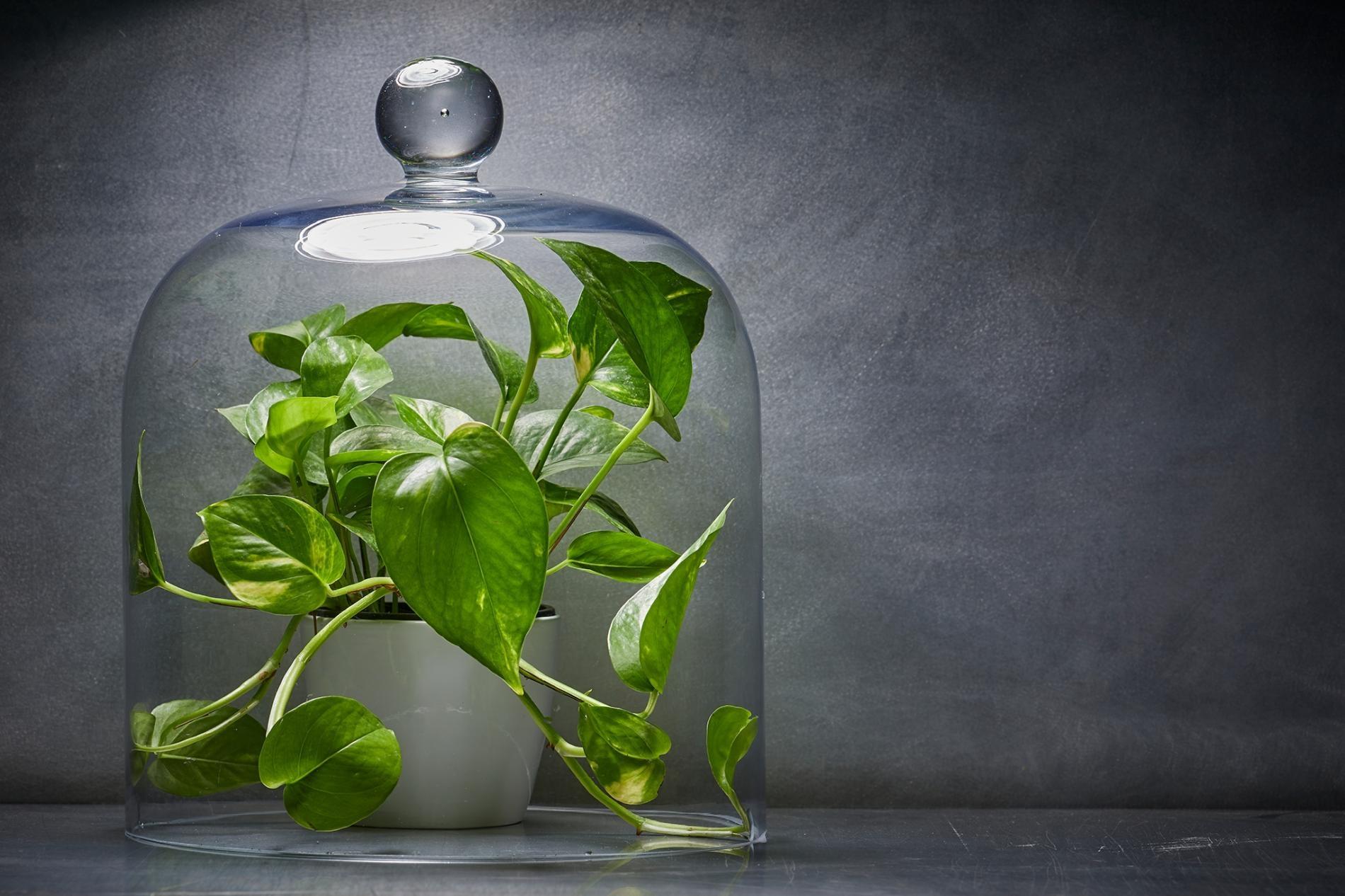 今年室內園藝蓬勃發展,許多受歡迎的室內植物,是以當作淨化家中空氣的好辦法來行銷,出售給急切的消費者。然而,新研究持續顯示室內植物在淨化家中空氣方面的功能近乎零。PHOTOGRAPH BY BECKY HALE AND MARK THIESSEN, NATIONAL GEOGRAPHIC