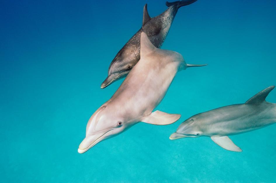 瓶鼻海豚在巴哈馬與一隻大西洋斑點海豚游泳,牠們以吃魚前會把魚踢到空中而聞名。PHOTOGRAPH BY BRIAN J. SKERRY, NAT GEO IMAGE COLLECTION