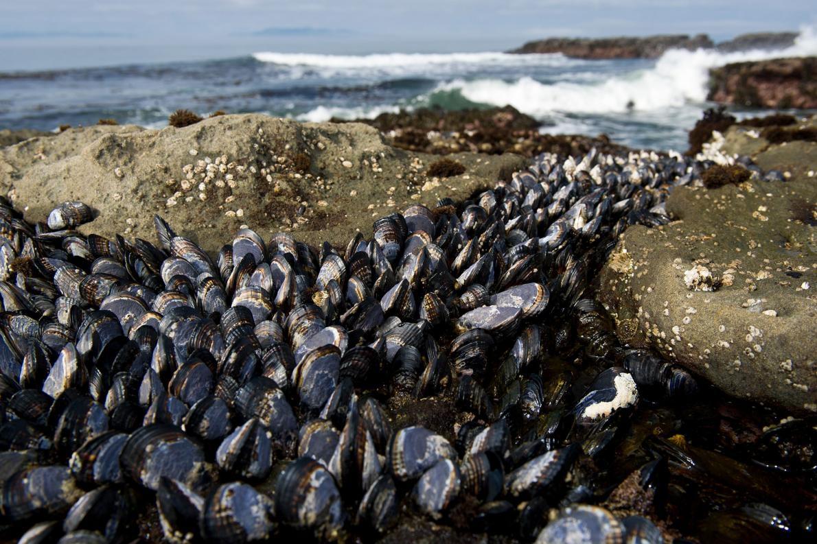 棲息在加拿大不列顛哥倫比亞省溫哥華島(Vancouver Island)海岸的油黑殼菜蛤(Mytilus trossulus),能染上兩種傳染行癌症。PHOTOGRAPH BY CHERYL-SAMANTHA OWEN