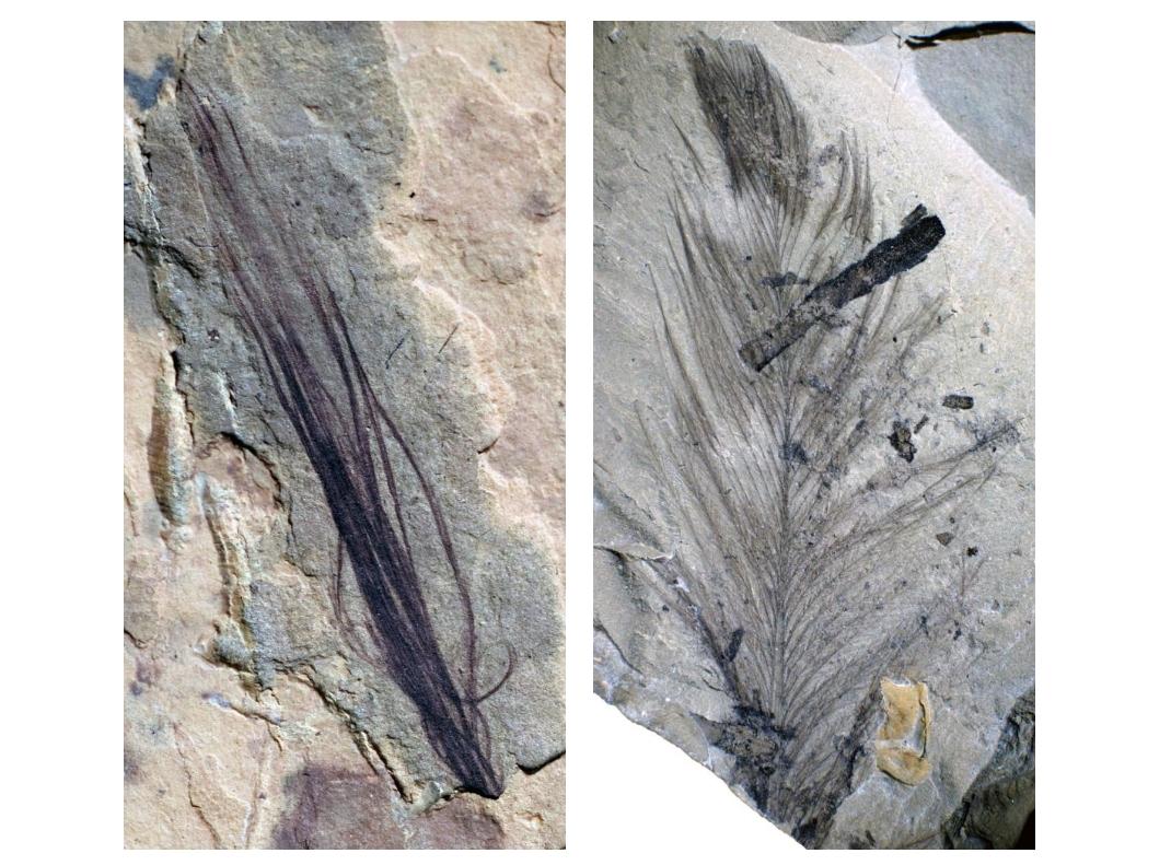 在澳洲發現的十枚羽毛化石中包含了一簇恐龍的原始羽毛(左)以及一隻史前鳥類的羽毛(右)。PHOTOGRAPH COURTESY MELBOURNE MUSEUM