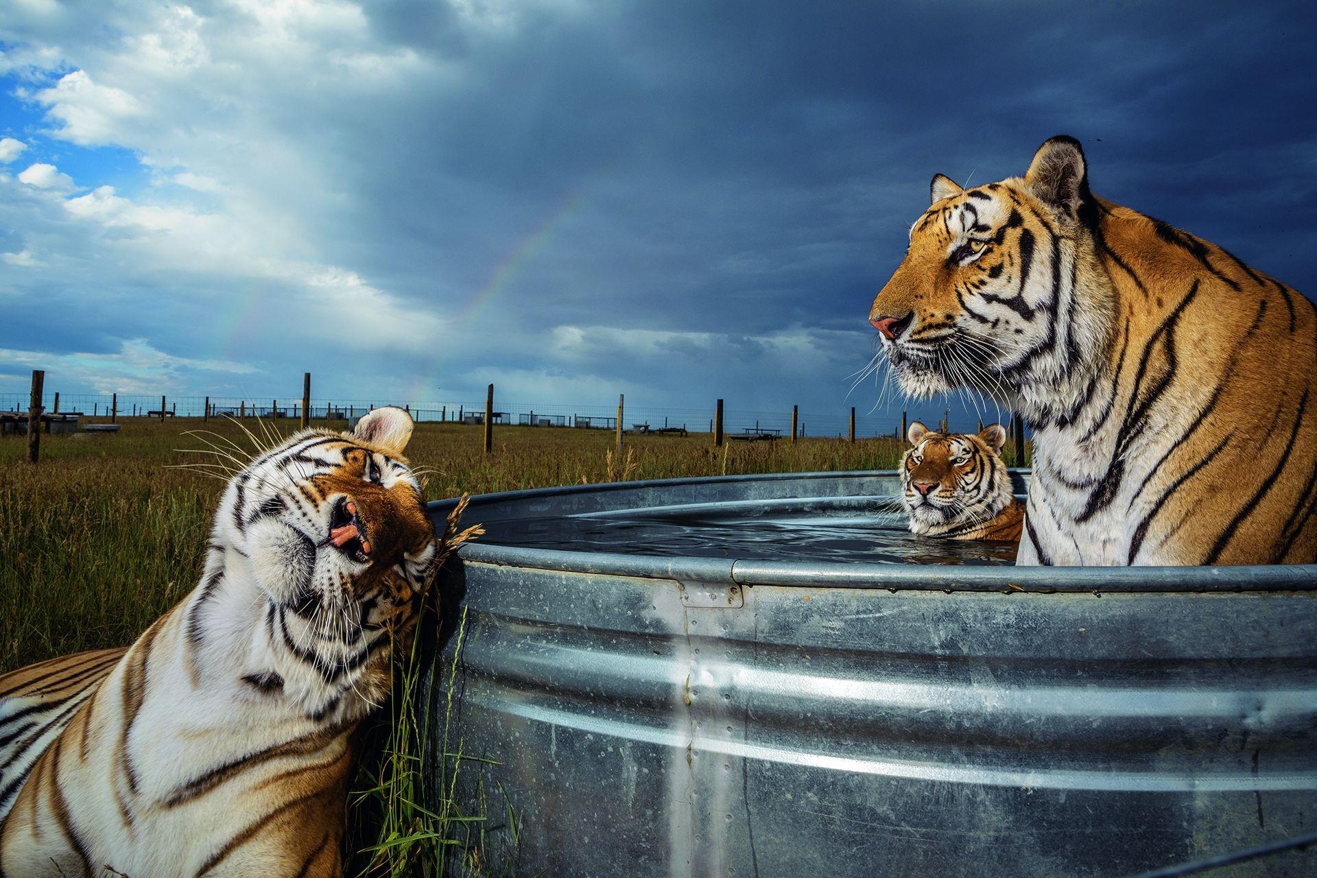 克雷、丹尼爾和恩佐是俄克拉荷馬州一個動物公園救出39隻老虎的其中3隻,牠們聚在科羅拉多州金斯堡鎮「野生動物庇護所」的水池。這些大貓會在此度過餘生,營養良好且有獸醫照護。攝影:史提夫.溫特 STEVE WINTER