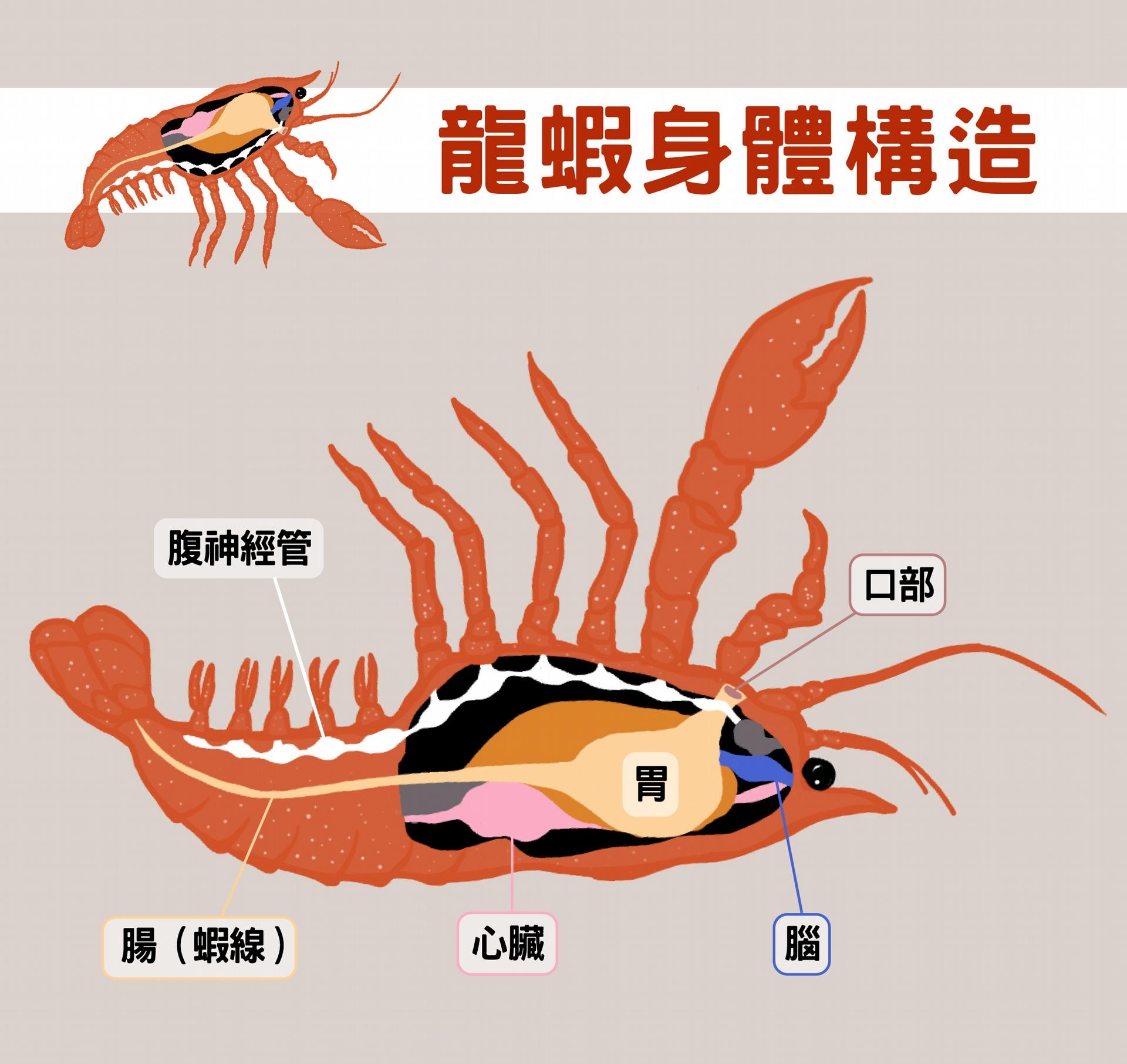 龍蝦一樣有神經管,把牠翻過來,神經管在上、腸子在下,很像脊索動物。 圖說設計│黃曉君、林洵安