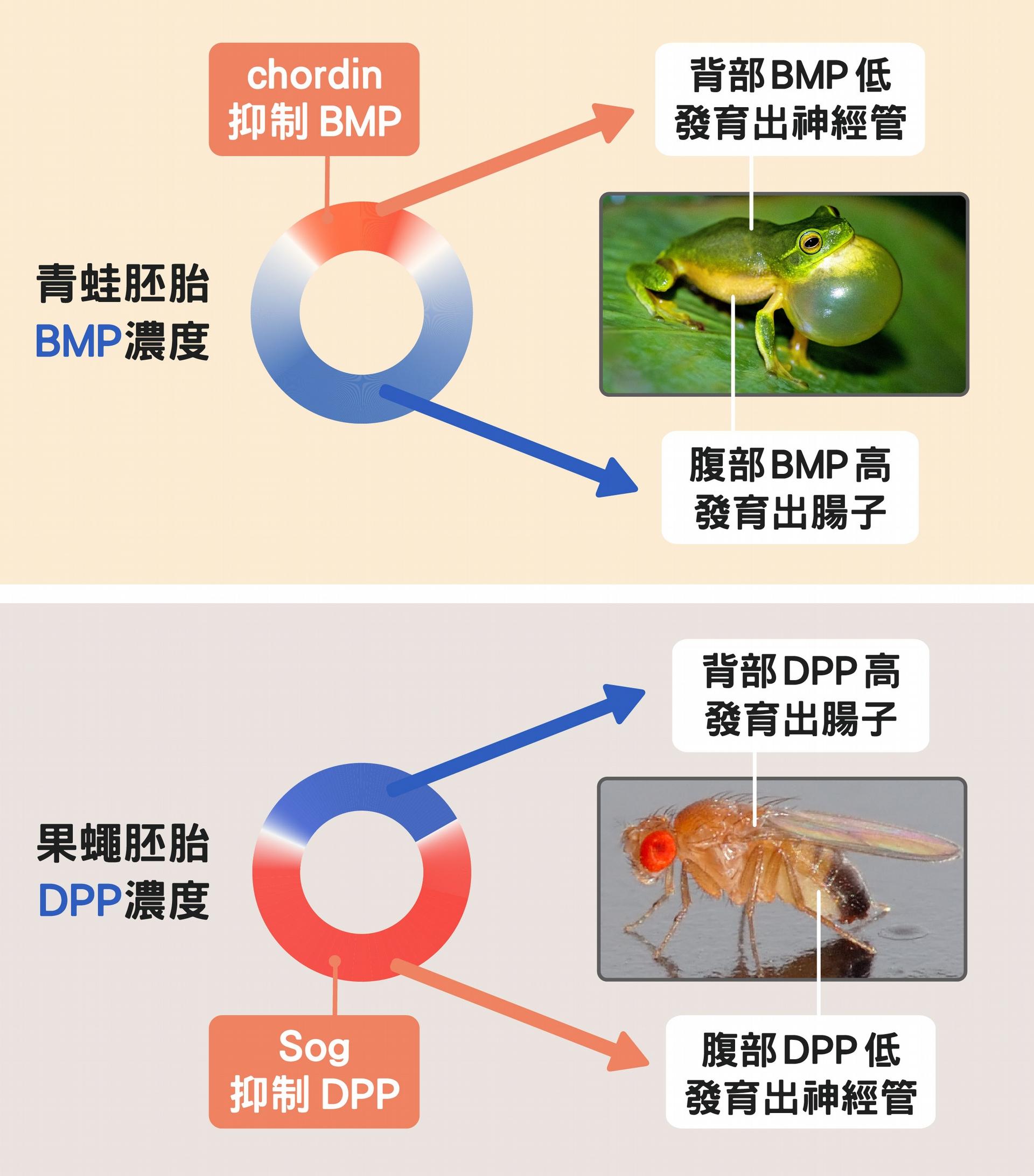 人青蛙的神經管長在背面、果蠅在腹面,正是因為控制背腹體軸發育的蛋白質濃度分布不一樣。 資料來源│蘇怡璇 ;圖片來源│維基百科、Unsplash ;圖說設計│黃曉君、林洵安