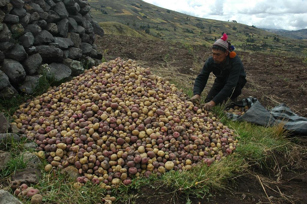 考古學家認為,馬鈴薯是7000年前祕魯農民的祖先在現代祕魯和玻利維亞之間的「的的喀喀湖」岸上栽培出來的。圖片來源:International Potato Center CIP(CC BY-NC 2.0)