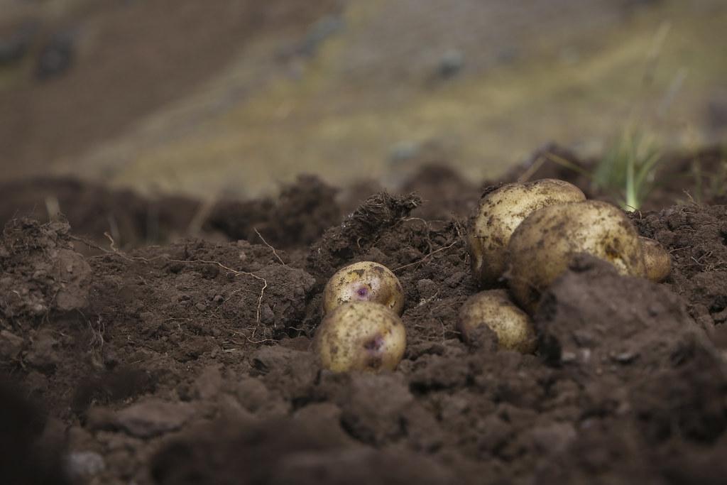 在亞洲和非洲,馬鈴薯既是糧食也是經濟作物。圖片來源:International Potato Center CIP(CC BY-NC 2.0)