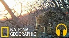 你有聽過稀有遠東豹的叫聲嗎?