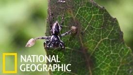 為了交配,這種跳蛛會拿「球拍」玩躲貓貓