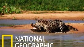 當飢餓的美洲豹遇上凱門鱷