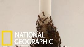 透過反覆試驗,紅火蟻能搭建出穩固的「蟻塔」
