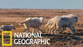 北極狼寶寶的首次「遠足」