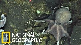 上百隻章魚媽媽盤據在已知最深的「章魚育嬰房」