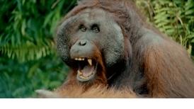 每日酷知識:紅毛猩猩「自己的床自己搭」