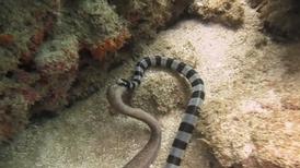 你看過海蛇吞噬海鰻嗎?