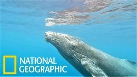 座頭鯨如何生產?這幾名探險家將試著揭開謎題