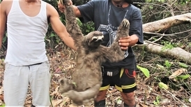 難過!看一隻樹懶被賣到黑市的過程
