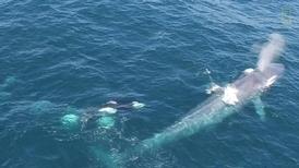 加州虎鯨群騷擾藍鯨!