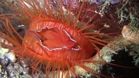 海底夜未眠:迪斯可蛤