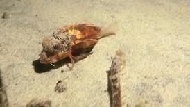 在峇里島海底「散步」的魚