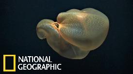 罕見畫面:遙控水下載具拍到神祕「胎盤水母」