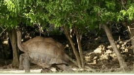 塞席爾巨型陸龜好怕熱!