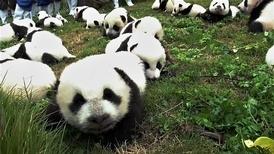 復育基地今年誕生了42隻貓熊寶寶!