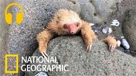 樹懶寶寶受困石縫,只好大哭求救!
