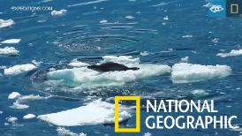 面對合作狩獵的虎鯨,海豹「凱文」能活命嗎?