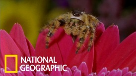 看跳蛛如何用敏銳的視力突襲蜜蜂