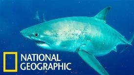 「深藍」:世界上已知最大的大白鯊