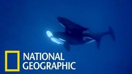 大白鯊肝臟遭虎鯨「開膛」取出,技巧如外科手術般精準