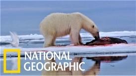 北極熊會如何儲存吃剩的海豹呢?