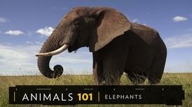 101動物教室:大象