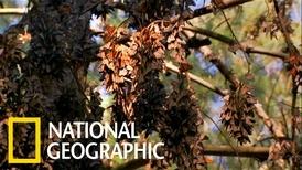 帝王斑蝶的壯麗遷徙