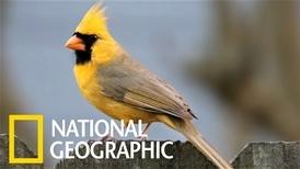 百萬分之一的「特別版」黃色北美紅雀