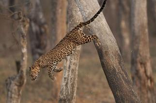 飛躍的雌豹