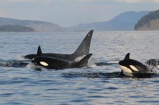 為何虎鯨阿嬤這麼長壽?一切都是為了金孫!
