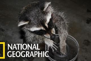 面對棉花糖的誘惑,浣熊比你想像中更聰明!