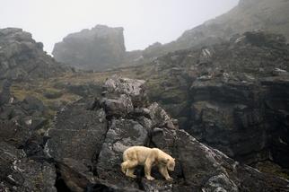 無助的北極熊