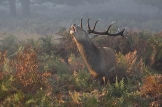 里奇蒙公園:鹿