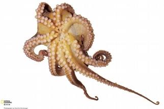 太平洋紅蛸