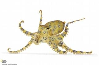 大藍環章魚