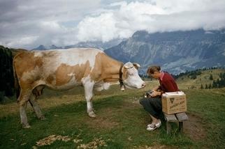 好奇的乳牛