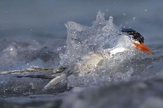 洗澡的橙嘴鳳頭燕鷗